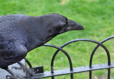 Raven in the Tower of London